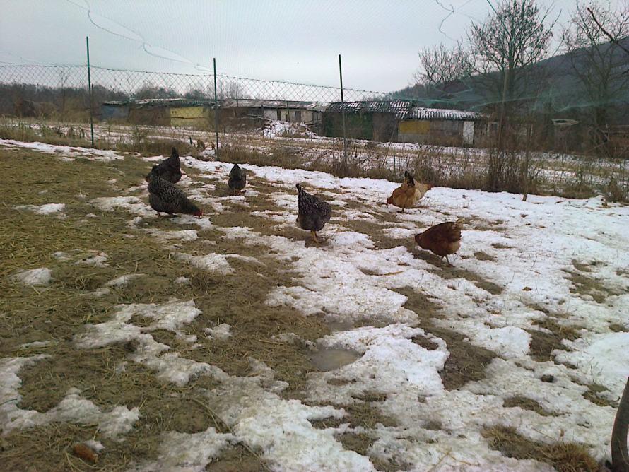 Tyúkok a hó alatt is megtalálják az ennivalót