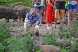 Egy jól öltözött látogató ismerkedik a mangalica malaccal