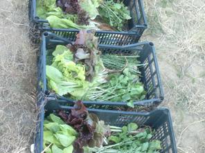 Leszüretelt vegyszermentes zöldségek ládákban.