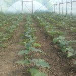 Fóliás bio cukkini termesztés