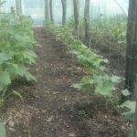 Fóliás termesztés