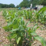 Kukorica, paprika szabadtéri, természetes termesztése