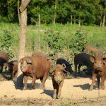 Mangalicák szabadtartásban