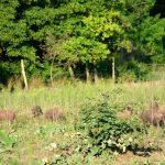 Szabadtartású mangalicák a kisberényi vegyszermentes termelőknél