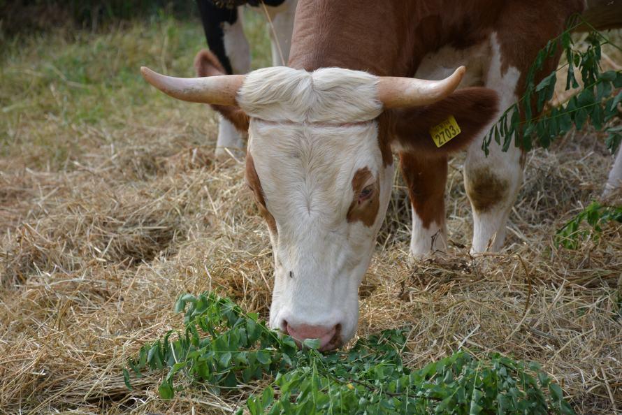 legelésző barna tehén feje
