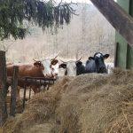 Kisberényi tehenek szabadok és boldogok