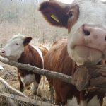 bámul a kíváncsi tehén